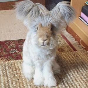 english angora rabbit 2